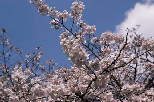 cherry20070329.jpg