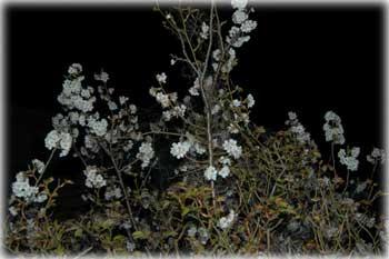 night-cherry.jpg