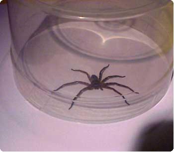 大きなクモ捕獲